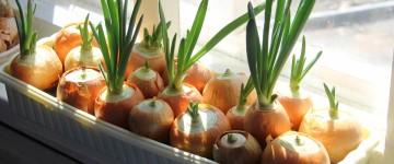 Выращивание лука на подоконнике дома