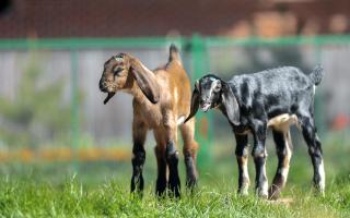 Англо-нубийские козы – правила разведения и содержания
