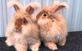 Как правильно ухаживать и разводить ангорского кролика