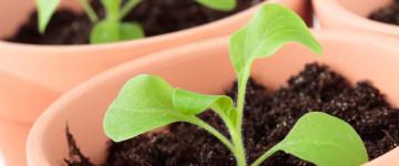 Как сделать лучший грунт для рассады петунии
