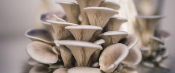Польза и вред грибов вешенок для организма