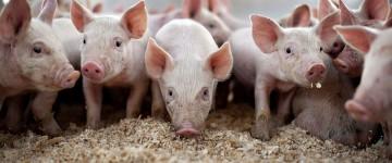 Симптомы, лечение, профилактика заболеваний свиней