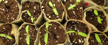 Применение азотных удобрений для томатов