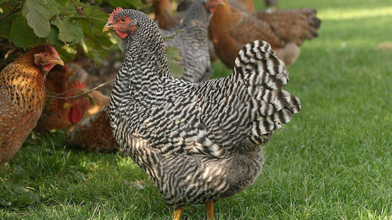 Амрокс курица