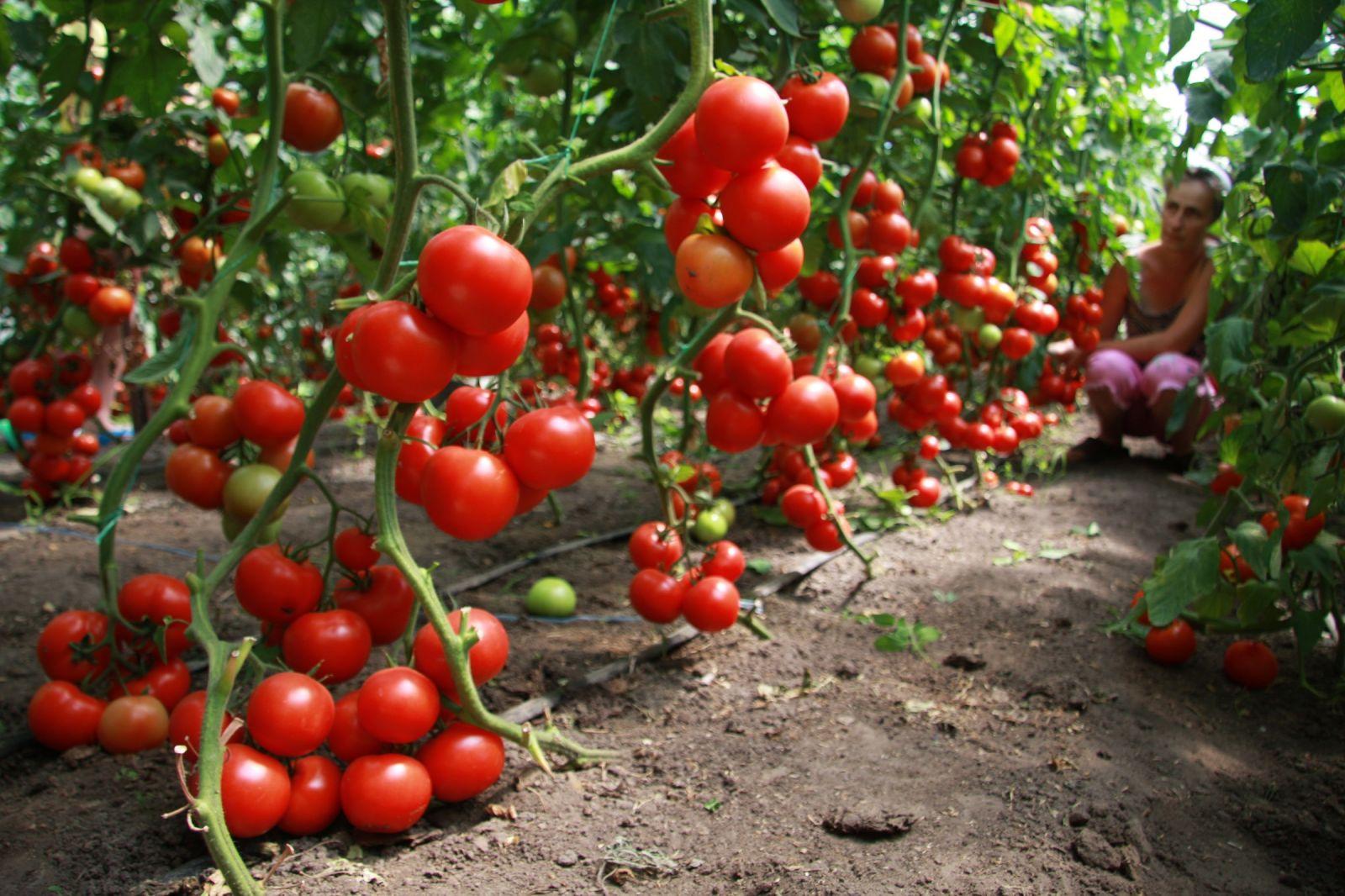 Подкармливать можно как рассаду так и взрослые растения