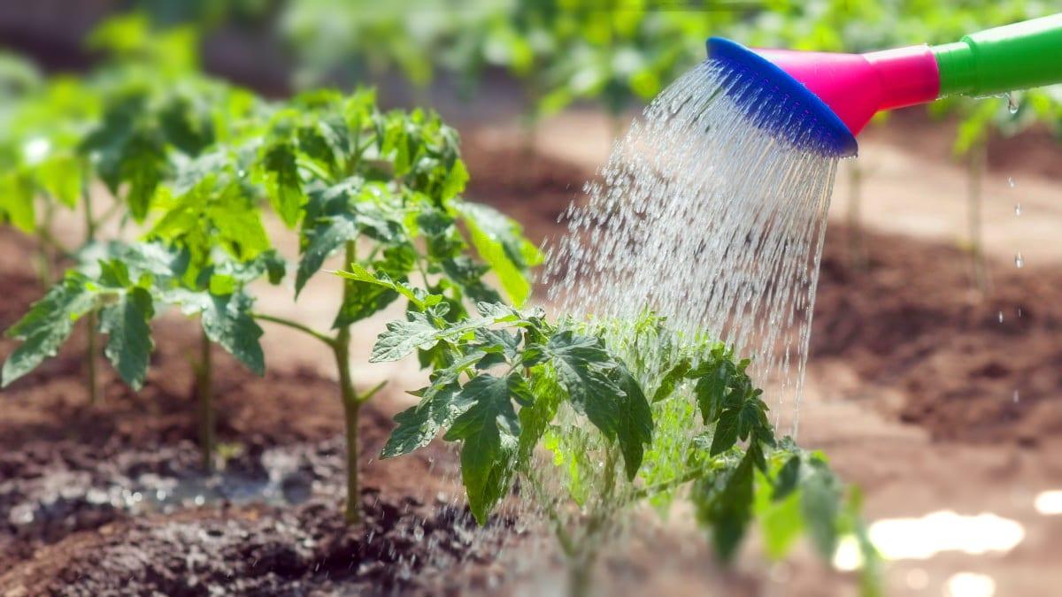 Снизить концентрацию азота поможет обильный полив