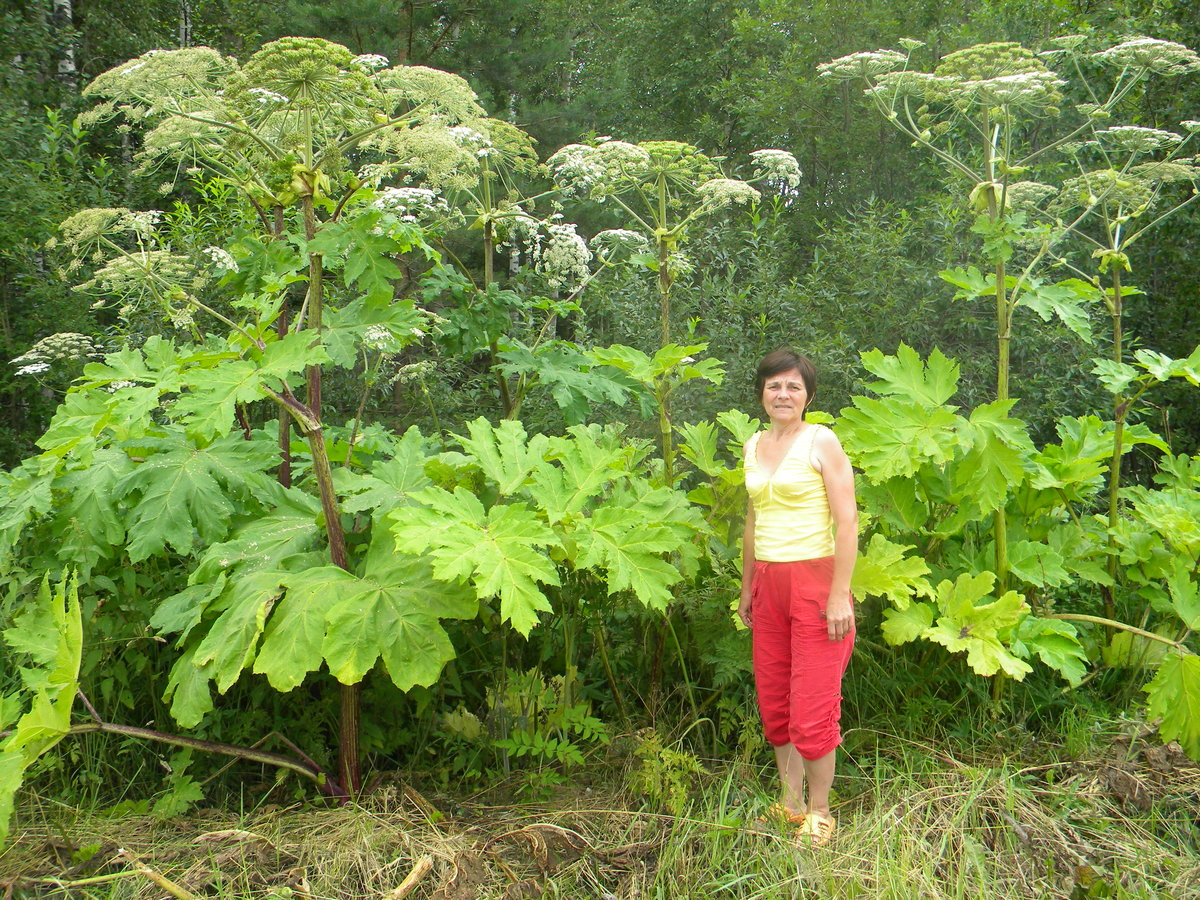 Борщевик Сосновского вырастает высотой 1-2 м, иногда достигает 4-5 м