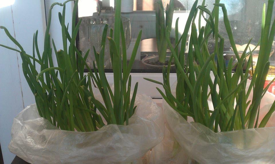 Выращивание лука без земли
