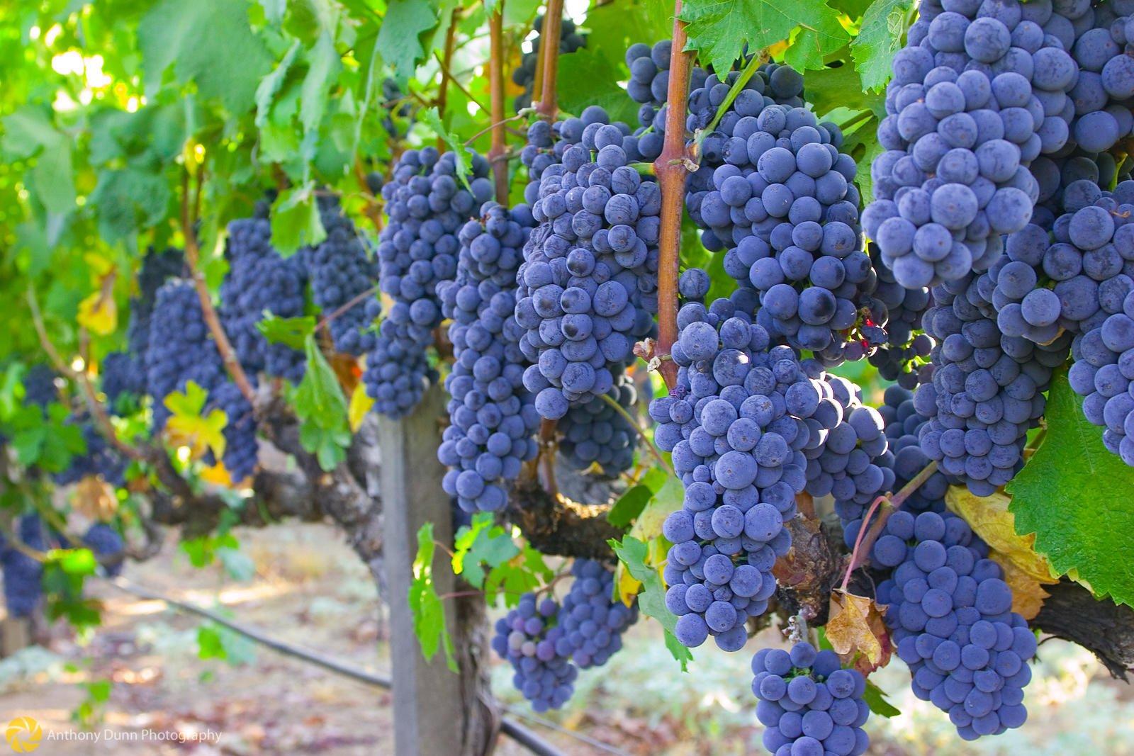 Виноград Изабелла.