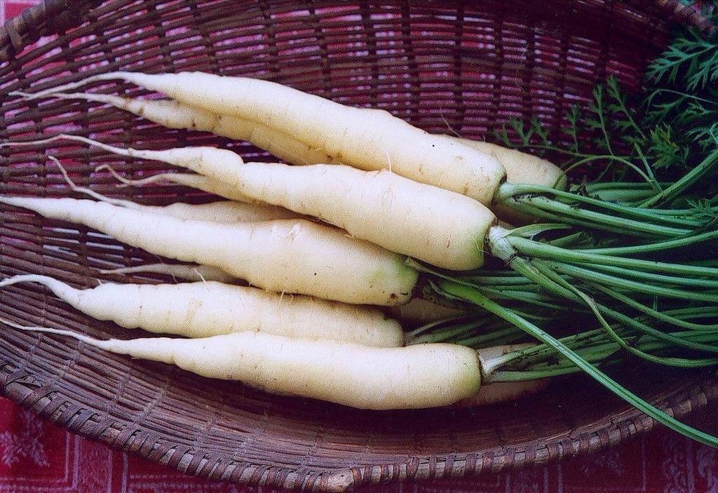 Лучше всего белая морковь растет в теплом и умеренном климате