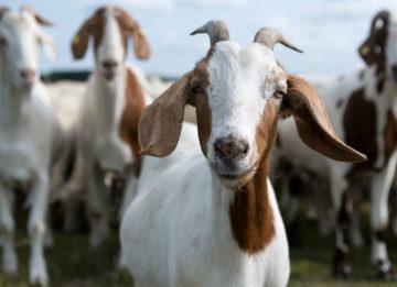 Лечение и профилактика болезней коз