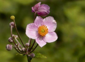 Анемона осенняя - описание, посадка и уход за нежным цветком