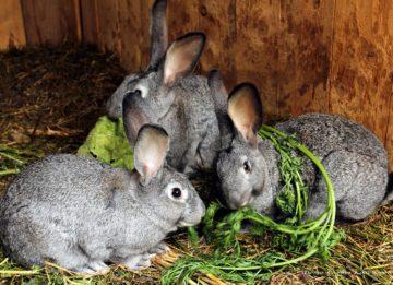 Как вылечить геморрагическую болезнь кроликов