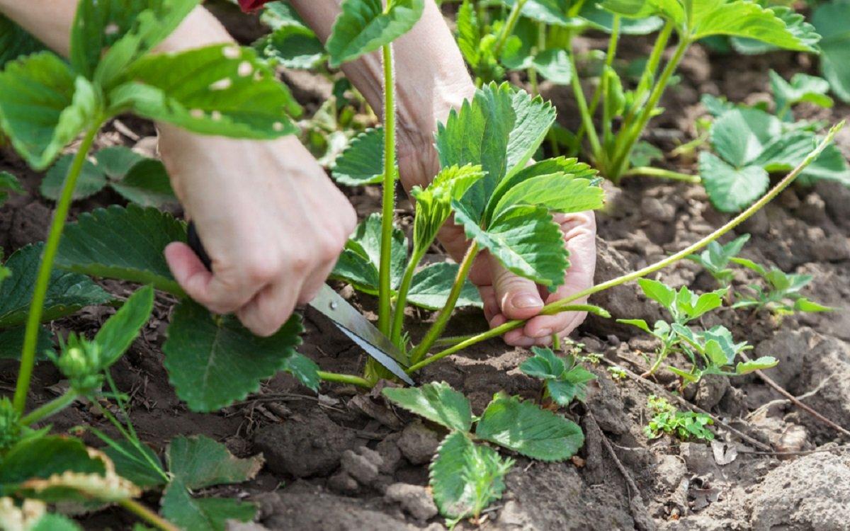Обрезку листьев проводят в зависимости от сорта клубники и предпочтений агронома
