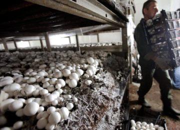 Как выращивать белые грибы в промышленных масштабах