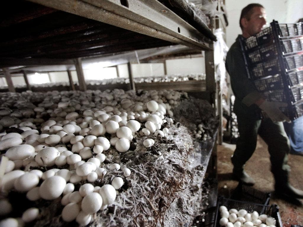выращивание белых грибов