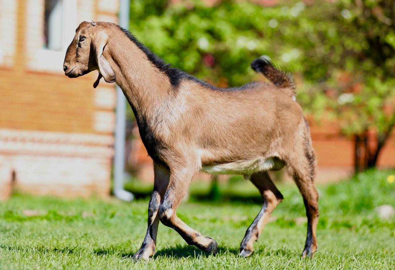 Англо-нубийские козы