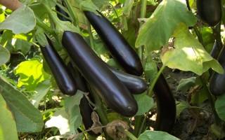 """Особенности выращивания баклажана """"Король рынка"""""""