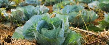 Что делать, если вянет и погибает рассада капусты