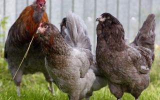 Амераукана – порода кур, способная удивить