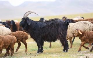Как разводить и ухаживать за гиссарской породой овец