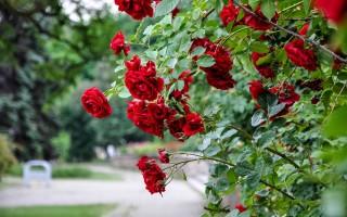 Сорта вьющихся роз для сада