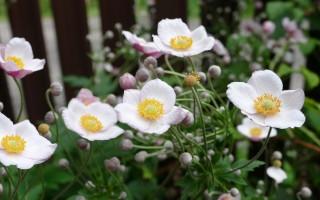 Анемона японская – осеннее украшение сада