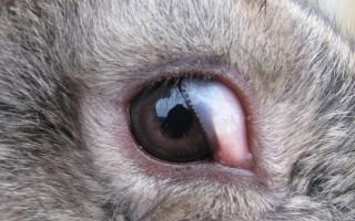 Лечение и профилактика болезней глаз у кроликов