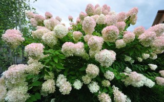 Как вырастить Грандифлору – королеву сада