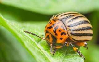 Пропорции горчицы и уксуса против колорадского жука