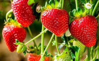 Виды, советы по выращиванию и уходу ампельной клубники