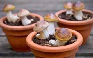 Можно ли вырастить белые грибы дома