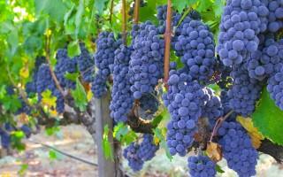 Рецепт домашнего вина из винограда Изабелла