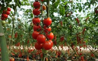 Мал золотник, да полезен – томаты Черри, высокорослые сорта
