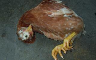 Болезнь Ньюкасла у кур – симптомы, профилактика, лечение  