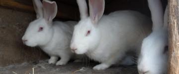 """Содержание и уход за породой кроликов """"Белый Великан"""""""