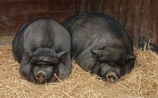 Вьетнамские вислобрюхие свиньи – советы начинающему свиноводу