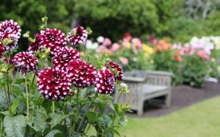 Георгины из семян: выращивание и уход по всем правилам