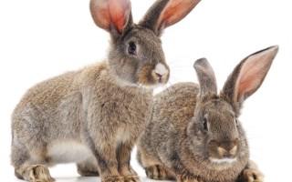 Симптомы и лечение ушных болезней у кроликов