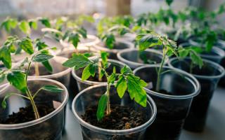 Легкие правила выращивания рассады томатов в домашних условиях
