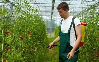 Шпаргалка для дачников: внекорневая подкормка томатов