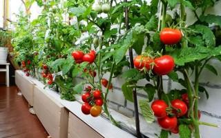 Выращивание ампельных помидоров в горшках и в открытом грунте