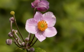 Анемона осенняя – описание, посадка и уход за нежным цветком