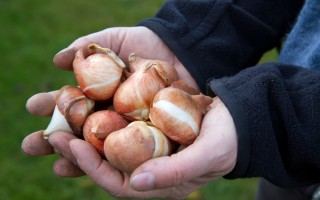Хранение луковиц гладиолусов на зиму