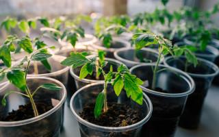 Что делать, если вянет и падает рассада помидоров