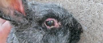 Симптомы миксоматоза у кроликов и методы лечения