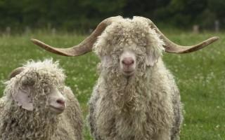 Правила и секреты разведения ангорских коз