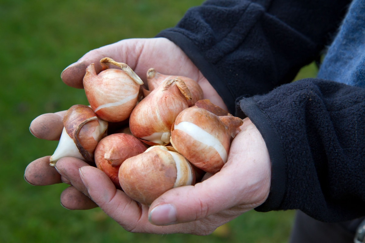 хранение луковиц гладиолусов зимой
