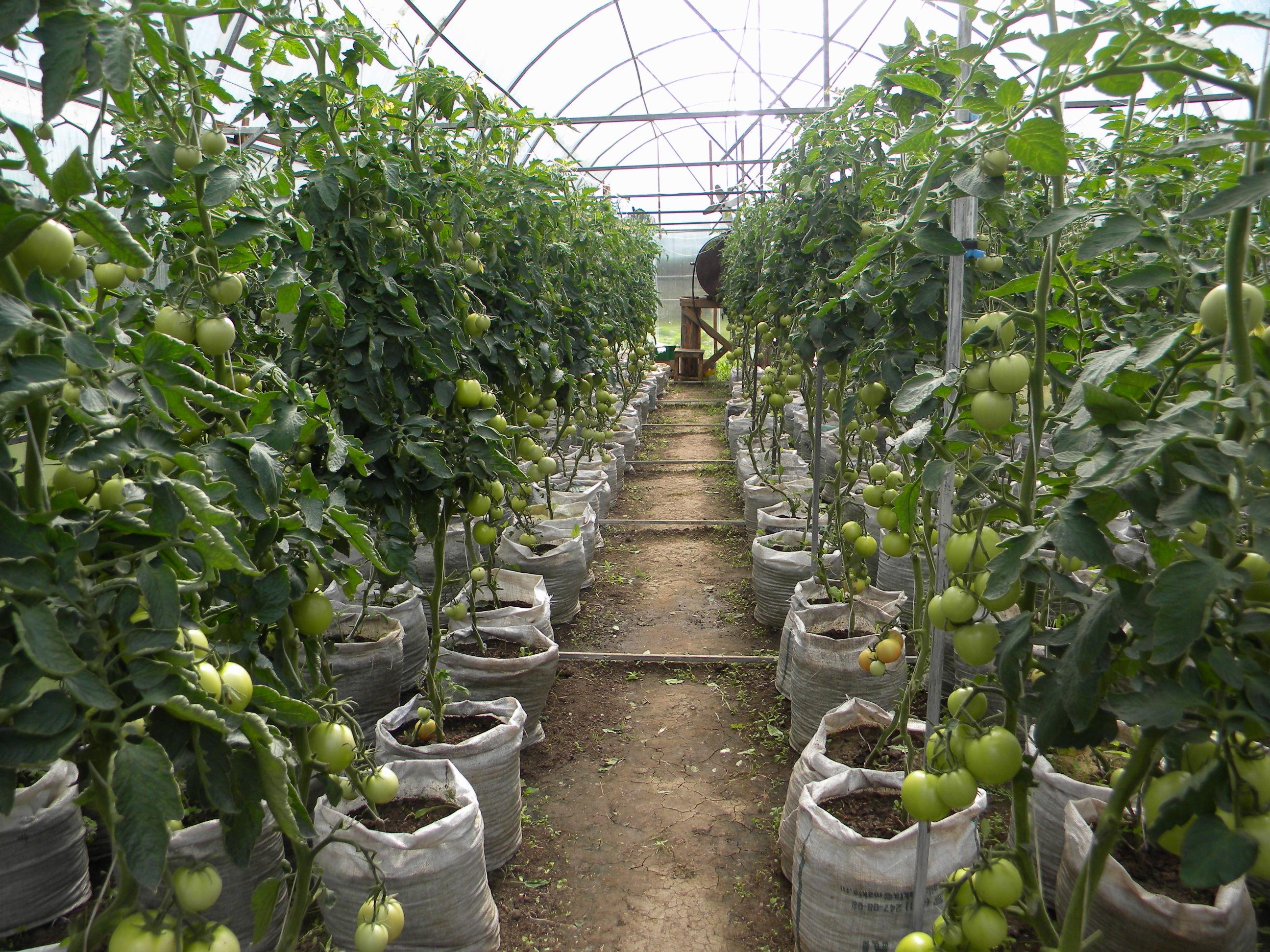 Посадка и выращивание томатов в тепличных условиях аналогична тому, как это делается в открытом грунте, однако имеются свои и существенные особенности.