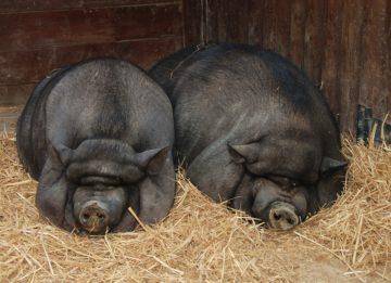 Вьетнамские вислобрюхие свиньи - советы начинающему свиноводу
